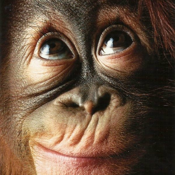 YouTube,соцсети,поп-культура,видео,животные, Видео, на котором запечатлена реакция орангутана на фокус покоряет сеть